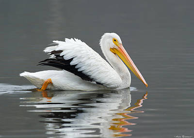 Poster featuring the photograph White Pelican Swimming by Avian Resources