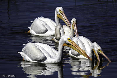 White Pelicans Fishing Poster