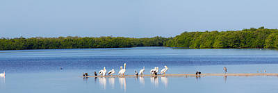 White Pelicans On Sanibel Island Poster