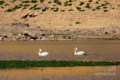 White Pelicans Poster by Robert Bales