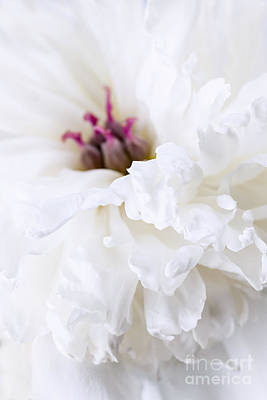 White Peony Flower Close Up Poster by Elena Elisseeva