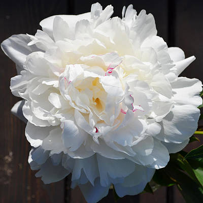 White Peony Poster by Tine Nordbred