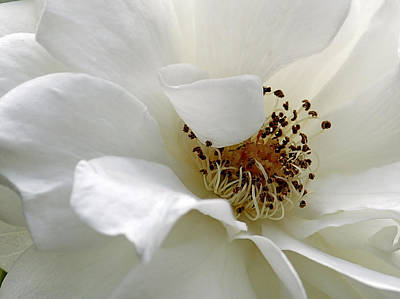 White Petals Poster