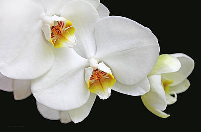 White Phalaenopsis Orchid Flowers Poster by Jennie Marie Schell