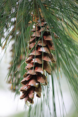 White Pine Cone 2 Poster by Sheril Cunane
