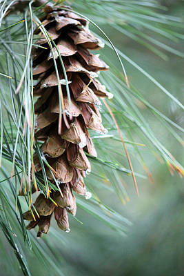 White Pine Cone 3 Poster by Sheril Cunane