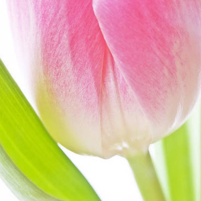 Poster featuring the photograph White Pink Green Flower Abstract - Spring Tulip Flowers - Digital Painting - Fine Art Photograph by Artecco Fine Art Photography