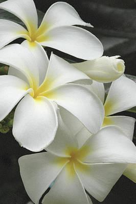 White Plumaria Poster