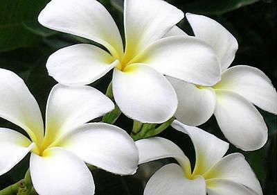 White Plumeria Poster