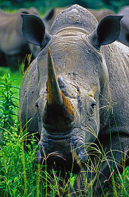 Poster featuring the photograph White Rhino by Dennis Cox WorldViews