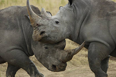 White Rhino Males Fighting Solio Game Poster