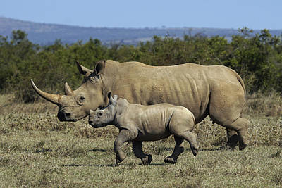 White Rhinoceros And Calf Kenya Poster