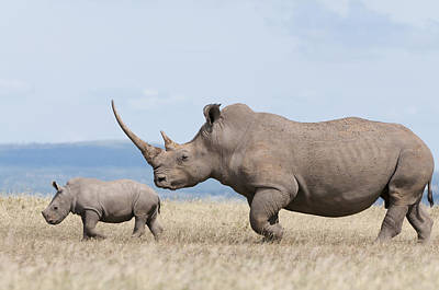 White Rhinoceros And Calf  Kenya Poster by Tui De Roy