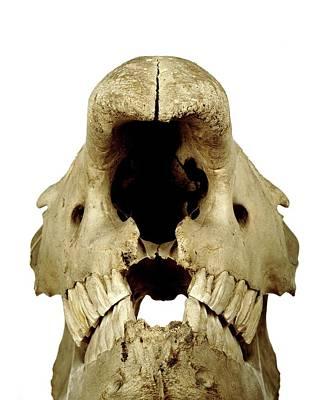 White Rhinoceros Skull Poster