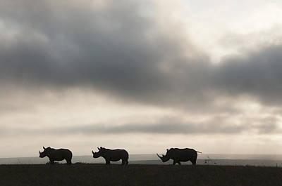 White Rhinoceros Trio At Sunset Kenya Poster