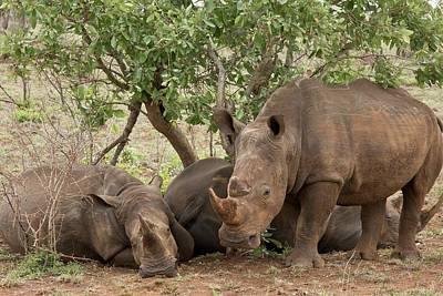 White Rhinos Resting Poster by Bob Gibbons