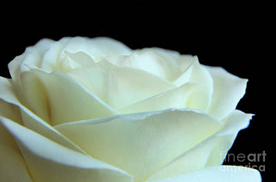White Avalanche Rose Poster