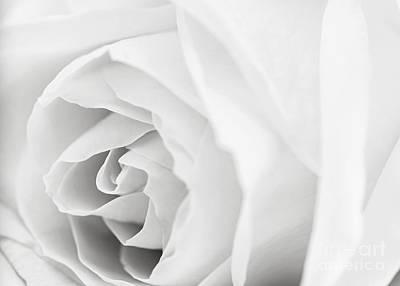 White Rose Poster by Elena Elisseeva
