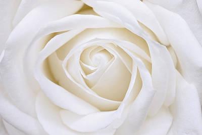 White Rose Poster by Gillian Dernie