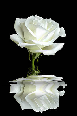 White Rose Reflection Poster