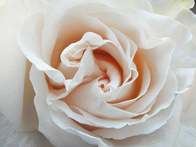 Poster featuring the photograph White Rose by Tiffany Erdman