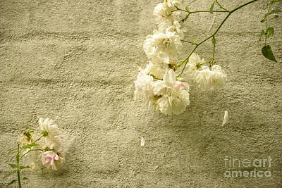 White Roses On A Wall Poster