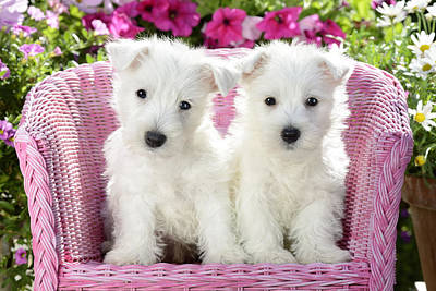 White Sitting Dogs Poster