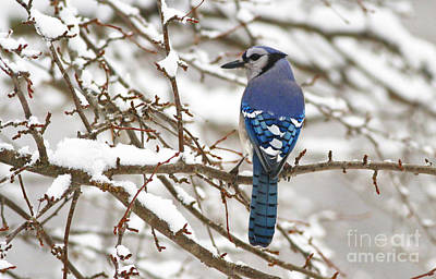 White Snows Blue Jay Poster