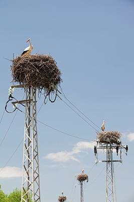 White Storks Nesting Poster by Ashley Cooper