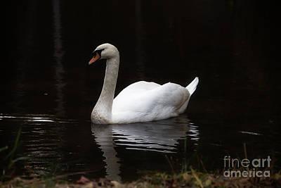 White Swan Lake Poster
