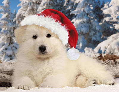 White Swiss Shepherd Puppy Poster by Jean-Michel Labat