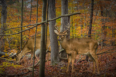 White Tail Deer Bucks In An Autumn Woodland Forest Poster by Randall Nyhof