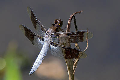 White Tail Dragonfly Poster