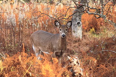 White Tailed Deer In Autumn Meadow Poster by John Burk