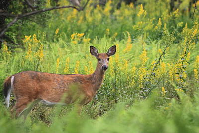 White Tailed Deer In Goldenrod Meadow Poster by John Burk