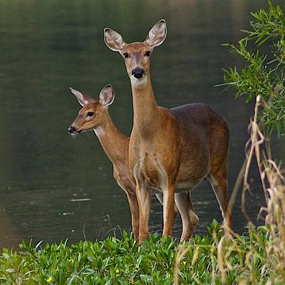 White-tailed Doe And Fawn Poster by Dan Ferrin