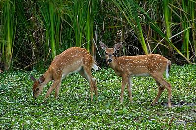 White-tailed Fawns Poster by Dan Ferrin