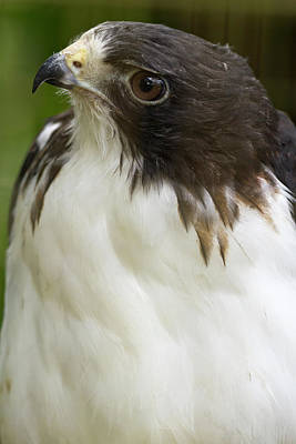 White-tailed Hawk, Buto Albicaudatus Poster by William Sutton