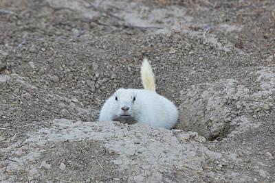 White-tailed Prairie Dog Cynomys Poster