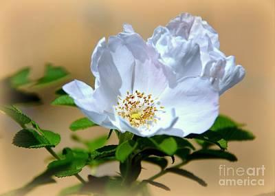 White Tea Rose Poster