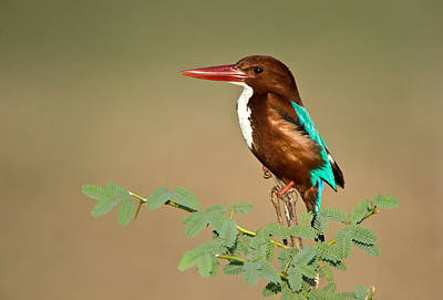 White-throated Kingfisher Halcyon Poster by Panoramic Images