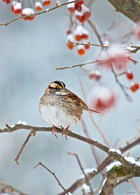 White-throated Sparrow Braving The Snow Poster