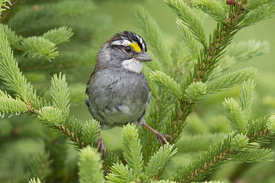 White-throated Sparrow Male In Breeding Poster by Scott Leslie