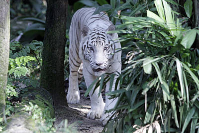 Poster featuring the photograph White Tiger  by Shoal Hollingsworth