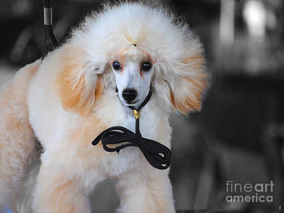 White Toy Poodle Poster by Jai Johnson