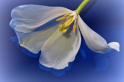 White Tulip On Blue Poster