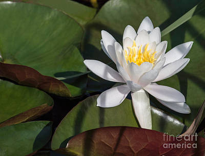 White Water Lily Poster by Arlene Carmel