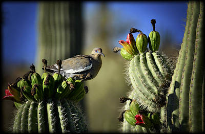 White Winged Dove Atop A Saguaro Poster