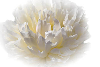 White Peony With A Dash Of Yellow Poster by Sherman Perry