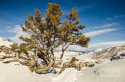 Whitebark Pine Pinus Albicaulis Poster by Sue Smith